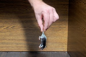 Man's hand pulls a live mouse out of the closet