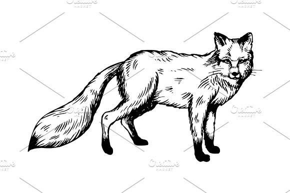 Line Drawing Fox : Fox animal engraving vector illustration ~ illustrations creative