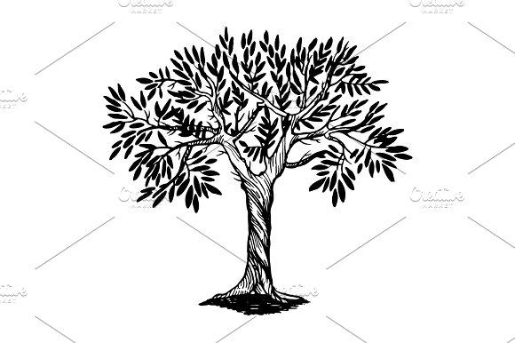 Olive tree engraving vector illustration