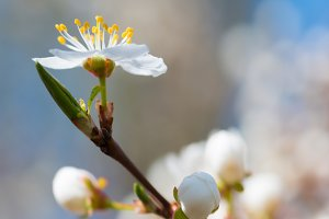 Spring blossoming white flowers