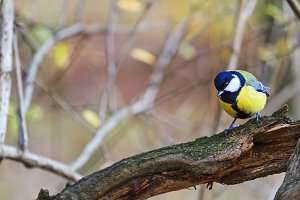 great tit in gnarled wood