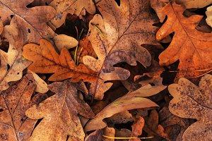 oak leaves of autumn color