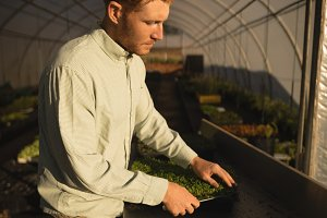 Man harvesting crop in greenhouse