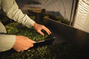 Man harvesting crop in greenhouse