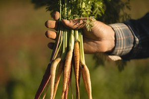 Farmer holding harvested radish in field