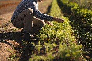Farmer checking saplings in field