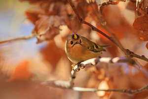Goldcrest among autumn oak leaves