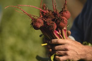 Farmer holding harvested beetroot in field