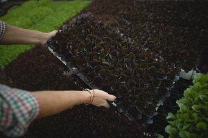 Farmer harvesting leafy vegetable