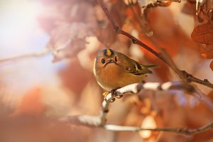 Goldcrest among autumn oak leaves with sunny hotspot