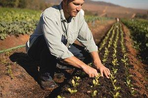 Farmer planting sapling in field