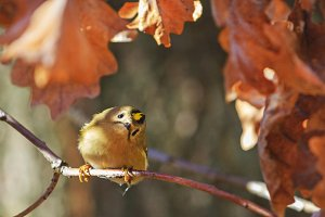 Goldcrest in oak branch with inquisitive eyes