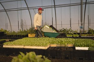 Farmer working in greenhouse