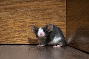 Gray-white furry mouse on the floor in the room. Pink nose, long whiskers and ears. Funny animals