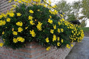 Lush yellow daisies
