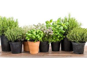 Fresh herbs basil rosemary thyme