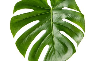 Green leaf monstera plant