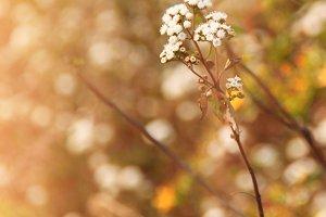 Dry meadow flowers
