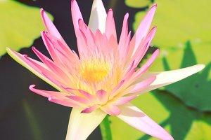 Lotus flower on the water
