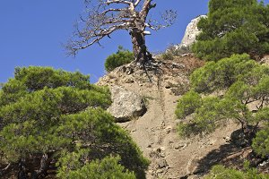 Dead pine tree in the mountains.