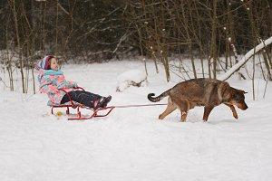 dog rolls little girl on sled