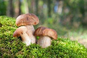Three mushroom (porcini) in forest