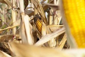 Mature corn open field