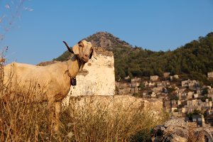 Goat In The Ruins Of Kayakoy
