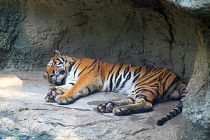 Tiger sleep on a rock in zoo