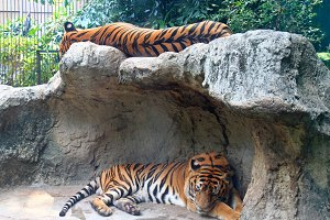 Two tigers sleep on a rock in zoo