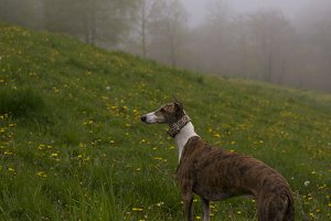 Greyhound in the mountain spring