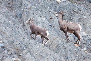 Wild Goats in Alberta