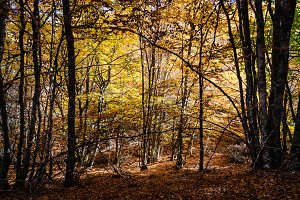 Beautiful autumn beech forest