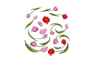 Hand drawn set of tulip flower elements, bud, blossoms
