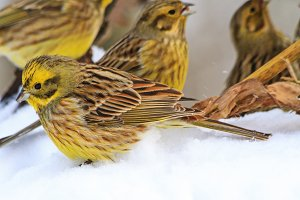 yellow birds on white snow