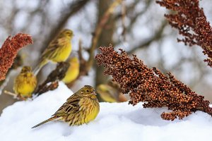 Yellowhammers the winter on a cloudy day eating sorghum