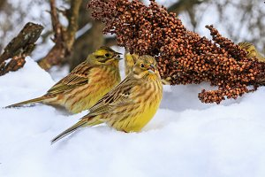 Yellowhammer of snow looking for food to survive