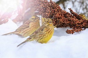 Yellowhammer of snow looking for food to survive with sunny hotspot