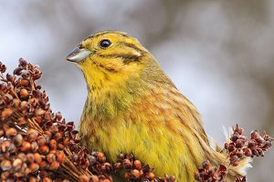 beautiful yellow bird on a winter day