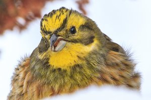 yellow bird with a funny face in the snow