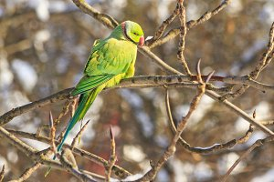 exotic bird in frosty day, parrot fugitive