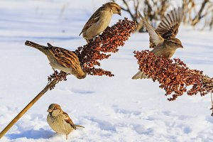 sparrows on a snowy sunny day eat the seeds