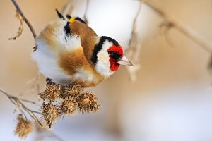goldfinch eat burdock seeds