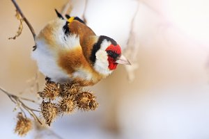 goldfinch eat burdock seeds on a winter sunny day