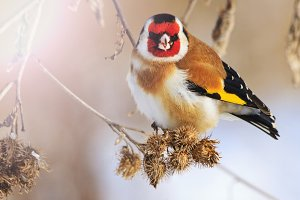 goldfinch bird with a red mask