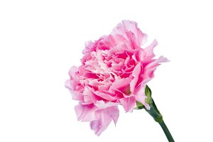 carnation flower isolated on white background
