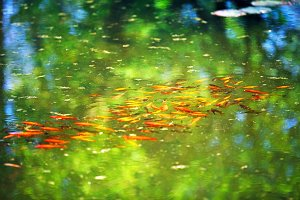Red and golden fish in the pond.