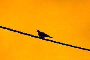 Silhouette of a pigeon under