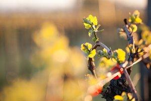 Vineyard buds