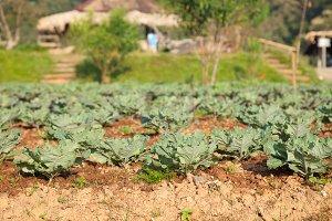 Vegetables in the vegetable field